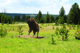 bison mâle sautant