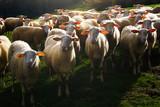 flock of shorn sheep - 199459305