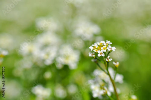 Fotobehang Olijf Wildflowers on a meadow in springtime. Spring and summer background, white wild flowers
