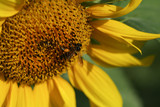 The bee collect sunflower pollen on a clear day.