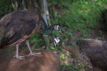 Two Indian blue peafowl