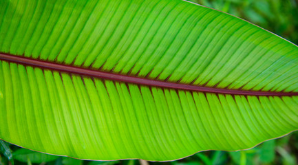banana leaf. green leave. Green leaf background. Abstract background