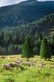 Grazing herd of sheep on green meadow, Tatra Mountains - 199531785