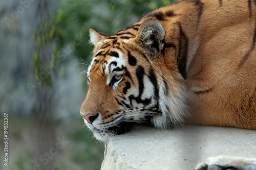Tygrys amurski odpoczywa.