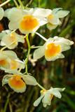Dendrobium farmeri paxton orchid in natural light