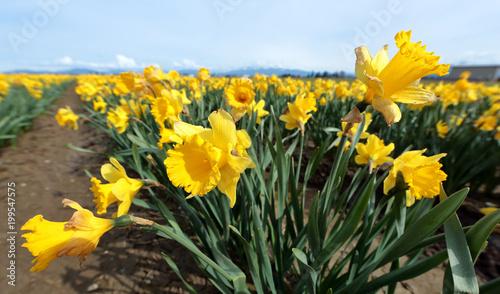 Daffodil Field w Skagit Valley