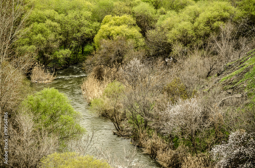 Fotobehang Pistache Mountain river Kasakh covered spring vegetation, green willows and flowering apricot trees