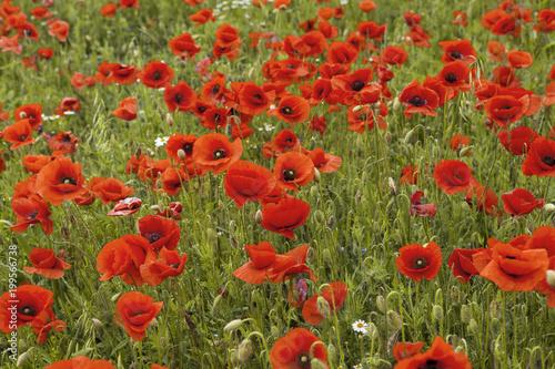 Fotobehang Baksteen Red eyes of nice poppies in poppy's field