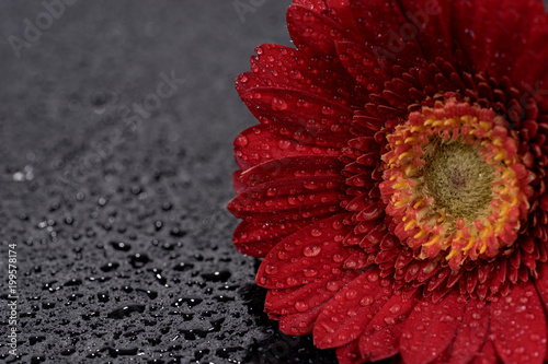 Aluminium Gerbera Red gerbera flower with water droplets isolated on black background