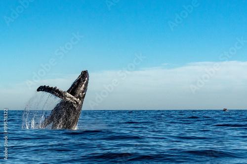Leinwandbild Motiv humpback whale while jumping breaching