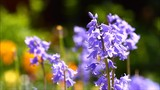 Close up of bluebell flowers in a garden swaying in a breeze  - 199585582