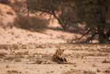 A lone black maned male kalahari lion lies on the red sand of the dry and barren kalahari desert in the Kgalagadi Transfrontier Park, South Africa. The last light covers the scene in warm cloak.