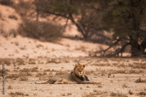 Plexiglas Lion A lone black maned male kalahari lion lies on the red sand of the dry and barren kalahari desert in the Kgalagadi Transfrontier Park, South Africa. The last light covers the scene in warm cloak.