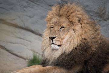 Portrait eines Löwen © R+R
