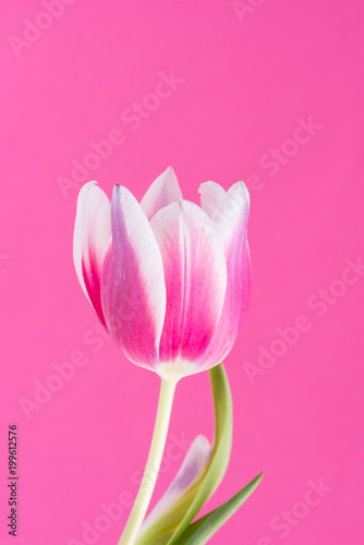 Single pink, white and purple tulip in front of pink background. - 199612576