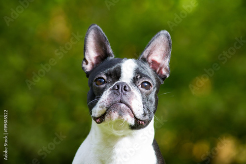 Foto op Plexiglas Franse bulldog Boston terrier dog in green park.