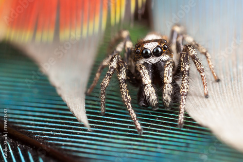 Plexiglas Papegaai Jumping spider and parrot feathers