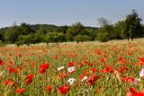 Mohnblumen im Getreidefeld 5