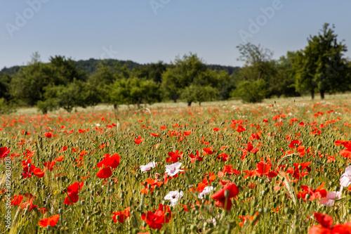 Foto op Canvas Klaprozen Mohnblumen im Getreidefeld 5