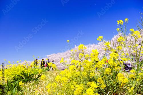 Foto op Plexiglas Donkerblauw 菜の花咲く土手と桜堤
