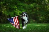 Happy border collie carrying USA flag - 199637360