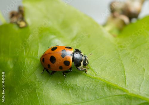 Ceratomegilla notata on leaf
