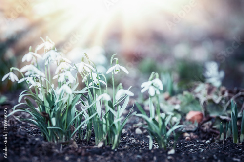 Fototapeta Snowdrops flowers with sun rays in garden, park or forest, spring outdoor nature