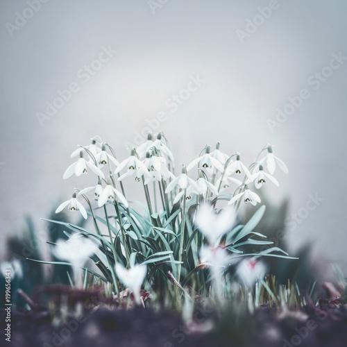 Fototapeta Pretty snowdrops flowers, outdoor springtime blooming