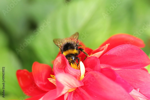 Aluminium Bee Bumblebee sitting on red flower in summer day
