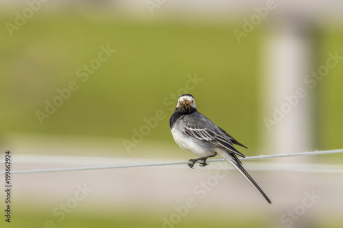 Wagtail with its beak full of insects sitting on a wire - 199662924