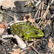 portrait of green frog (rana esculenta) sitting on natural ground