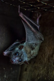 Close-up of a black bat or Microchiroptera in a contact zoo