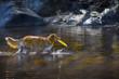 Nova Scotia Duck Tolling Retriever