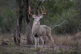 White-tailed Deer - Large Buck - 199687302