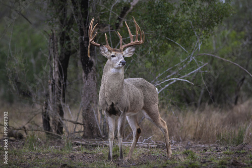 Plexiglas Hert White-tailed Deer - Large Buck