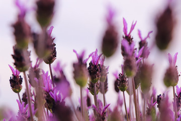 Lavender Flowers. Flowers texture in a field