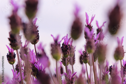 Lavender Flowers. Flowers texture in a field - 199692186