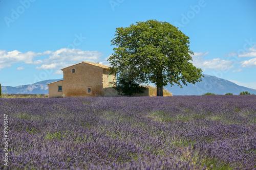 Fotobehang Blauw lavandes en Provence