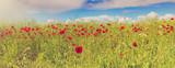 Panorama of field with blossoming red poppies among the ripening field of rape-seed, Europe