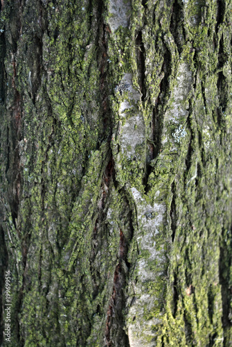 Old tree trunk texture with green moss, grunge background - 199699516