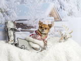 Chihuahua sitting in sleigh in winter scene, portrait