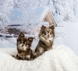 Chihuahuas sitting on fur rug in winter scene, portrait