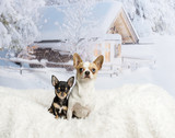 Chihuahuas sitting on white fur rug in winter scene