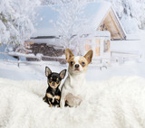 Chihuahuas sitting on white fur rug in winter scene, portrait