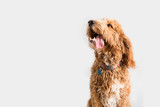 Fototapeta Zwierzęta - Golden Doodle Dog Isolated © MeganBetteridge