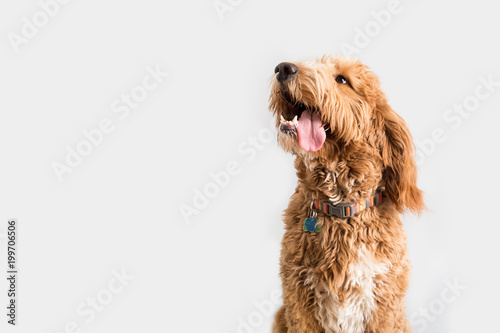 Golden Doodle Dog Isolated © MeganBetteridge