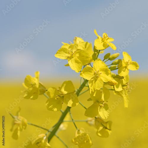Fototapeta Raps, Brassica napus, Blüten