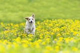 cute terrier dog running on dandelion grass field.