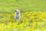 cute terrier dog running on dandelion grass field.