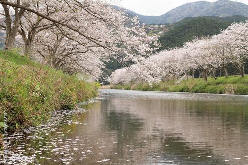 Fotobehang Donkergrijs 那賀川堤の桜並木